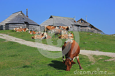 Cow eating grass, Velika planina, Slovenia