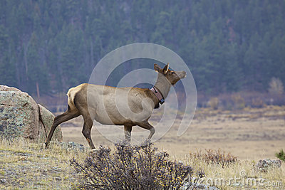 Cow Elk with Collar
