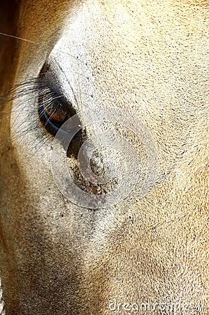 Cow eye