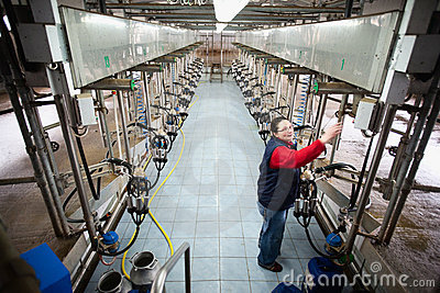 Cow farm Editorial Stock Photo