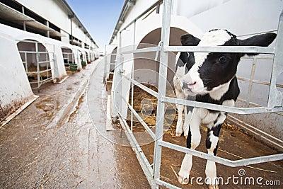 Calf in cow farm