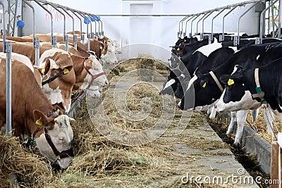 Cow farm