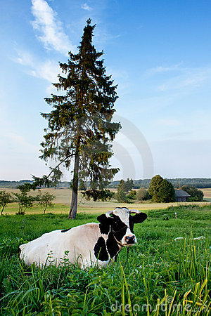 Cow on a farmland