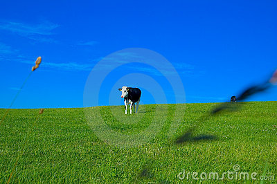 Cow in field 3
