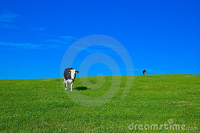 Cow in field 4