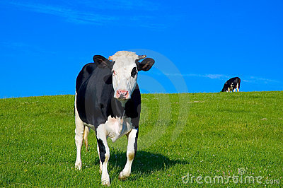 Cow in field 6