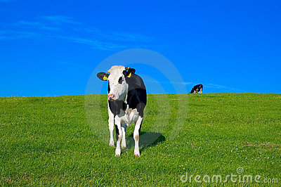 Cow in field 7