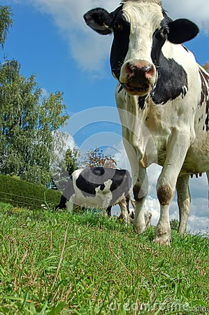 Cow from Frog Perspective