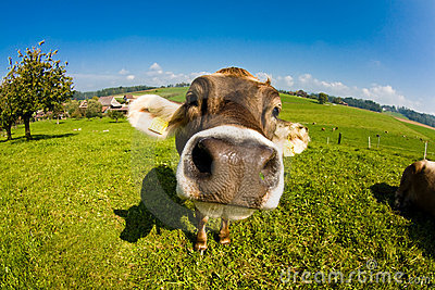 Cow, funny fisheye nose close up