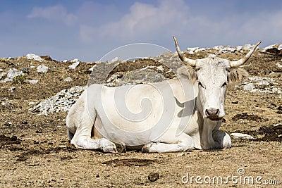 Cow graze on the grass