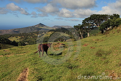 Cow grazing in a pasture on St Helena Island