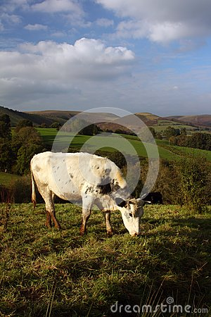 Cow Grazing in the Welsh Hills