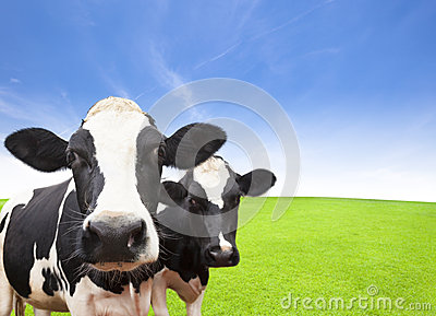 Cow on green grass field