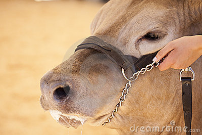 Cow Hand Hold