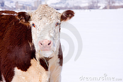 Cow with Hay in mouth