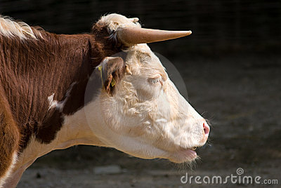 Cow Head Closeup Side Profile Royalty Free Stock