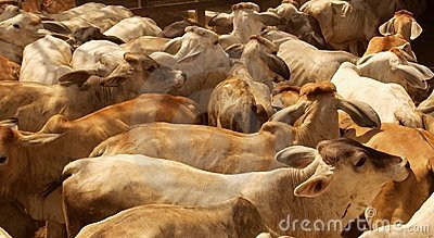 Cow herd background
