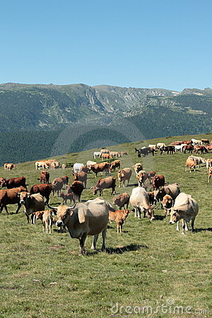 Cow herd in Pyrenees