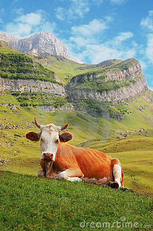 Cow in high mountains