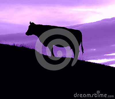Cow On A Hill With A Purple Sky