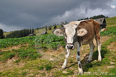 Cow on a hillside.