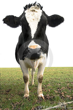 Free Cow In Field Stock Photos - 1665353