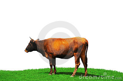 Cow isolated at the  field