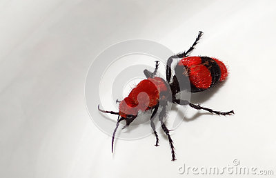 Cow Killer Wasp (Red Velvet Ant)