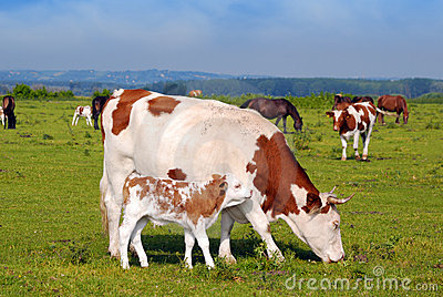 Cow and little calf