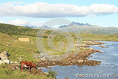 Cow in Lofoten s Fjord