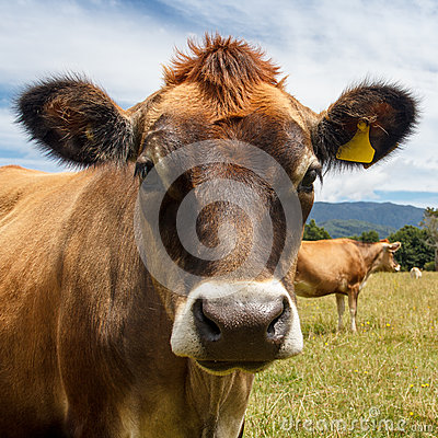 Cow looking into the camera