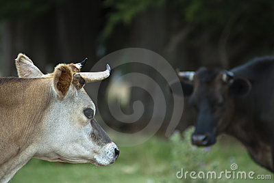 Cow looking at cow