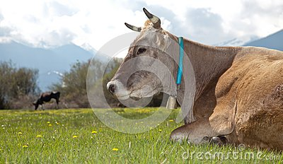 Cow lying on meadow