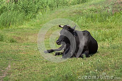 Cow lying on pasture