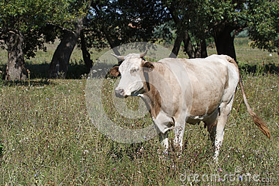 Cow in the meadow on the background of trees