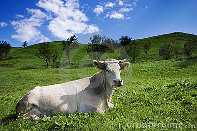 Cow and meadow large