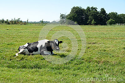 Cow in a meadow lying down