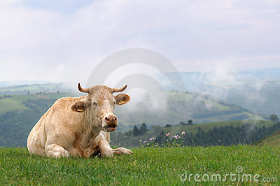 Cow in meadow with misty hills