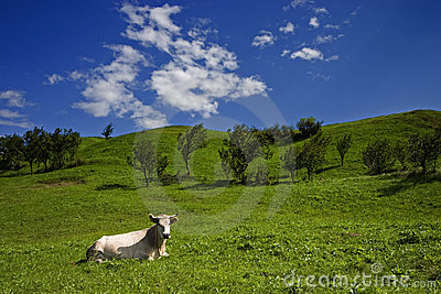 Cow and meadow small