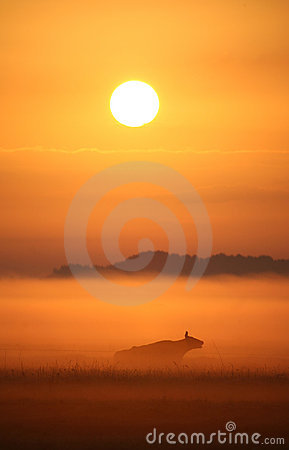 Cow in misty sunrise