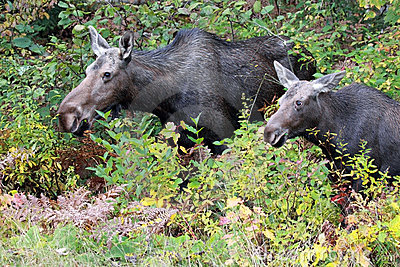 Cow Moose & Calf