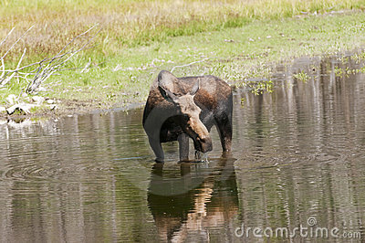 Cow Moose feeding