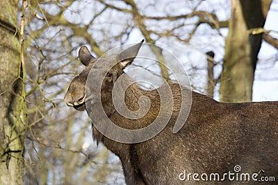 Cow moose portrait