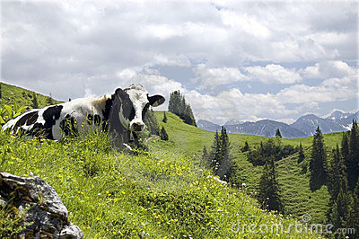Cow In A Mountain Landscape