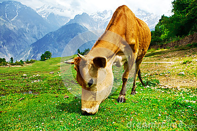 Cow in mountainous valley