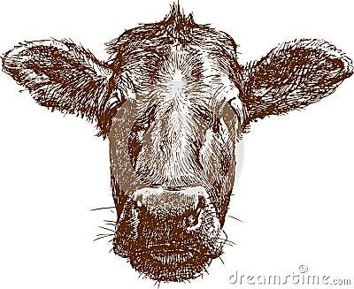 Cow muzzle