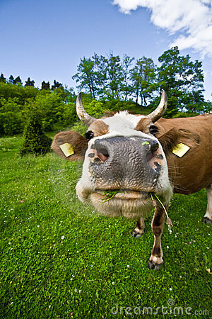 Free Cow On Field Royalty Free Stock Images - 12624739
