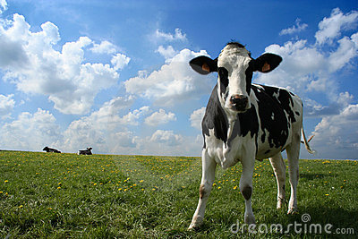 Cow in pasture