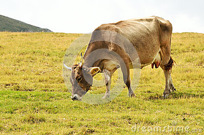 Cow on the pasture