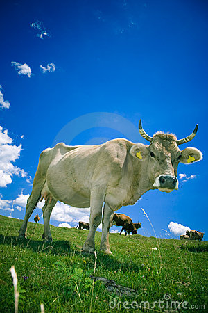 Cow On Pasture Stock Photography - Image: 2778122